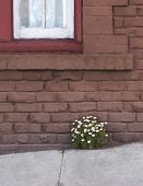 picture of feverfew  - Feverfew flowers sprout between sidewalk and brick building - JPG