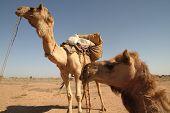 Saddled Camels