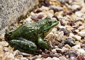 Frog on pebbles