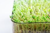 Beansprouts Growing In Tray