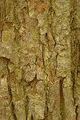 Basswood Tilia Americana
