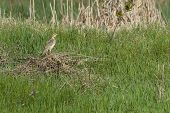 picture of meadowlark  - Western meadowlark sitting in field of grass on brush - JPG