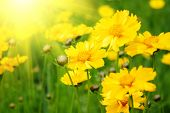 stock photo of yellow flower  - Sunny yellow flowers background - JPG