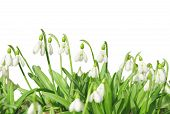 pic of snowbell  - First spring flowers snowdrops isolated on white background - JPG
