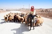 KARAK, JORDAN - SEPTEMBER 23: A shepherd on a donkey leads his sheep down a road to pasture,  Septem