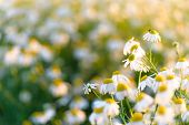 Summer Natural Background Field Of Chamomiles. Blurred Bokeh Wildflower Meadow, Flower Meadow, poster