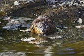 stock photo of muskrat  - Muskrat sitting on the shore of lake - JPG