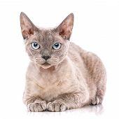 Devon-rex Cat Close-up Portrait On White Background poster