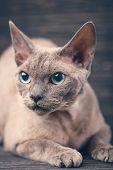 Portrait Of A Devon Cat On A Dark Wooden Background. poster