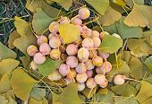 Ginkgo Biloba Fruits Heap Lying Over Leaves, Outdoor Shot