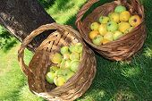 Yellow and green bio apples in baskets