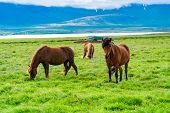 Icelandic Horses Grazing In The Pasture In Summer Cloudy Day In Iceland poster