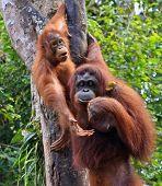 zwei Orang-Utan in Sarawak (Borneo)