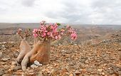 Bottle tree - adenium obesum â?? endemic tree of Socotra Island