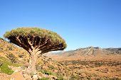 Dragão árvore - Dracaena cinnabari - sangue de dragão - endémica de Socotra, Iémen