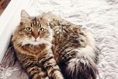 Beautiful Tabby Cat Lying On Bed And Looking With Green Eyes. Fluffy Maine Coon With Funny Emotions poster