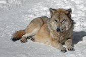 Adult Fluffy Grey Wolf In The Wild In Winter, Grey Wolf Lying On The Snow poster