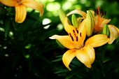 stock photo of asiatic lily  - A bright orange Asiatic Lily in bloom - JPG
