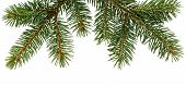 Fir Tree Branch Isolated On White Background. Pine Branch. Christmas Fir. poster