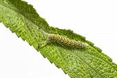 Caterpillar Of Tabby Butterfly  (pseudergolis Wedah) On Its Host Plant Leaf poster