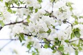 Apple Tree Flowers Blossom Macro View. Blossoming White Pink Petals Fruit Tree Branch, Tender Blurre poster