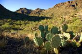 Prickly Pear Cactus In Desert
