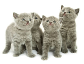 picture of funny animals  - Four small funny kittens - JPG