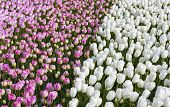 Pinky And White Tulips