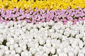 Yellow, Rosy And White Tulips