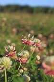 Blooming Alsike Clover (trifolium Hybridum)