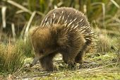 foto of ant-eater  - A beautiful detailed portrait of an Australian Echidna shown here in its natural grassy environment - JPG