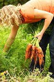 Woman Picking Fresh Carrots
