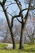 Two Mature Black Oak Trees And Staked Sapling