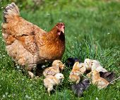 stock photo of baby chick  - Closeup of a mother chicken with its baby chicks in grass - JPG