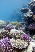 coral reef with hard coral in red sea