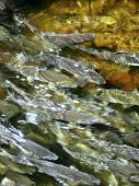 Salmon Spawning Up River