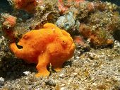 stock photo of orange frog  - Orange Painted Frogfish Lembeh Strait - JPG