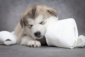stock photo of laughable  - One month old alaskan malamute puppy sleeps after play with toilet paper - JPG