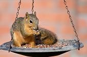 Young Fox squirrel (Sciurus niger)