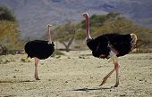 Males of African ostrich