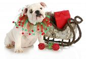 christmas puppy - english bulldog puppy sitting beside sleigh full of presents isolated on white bac