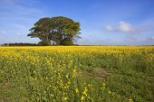 stock photo of hazy  - golden farming landscape in the yorkshire wolds england with flowering canola crop and a grove of trees on a prehistoric burial mound or tumulus under a hazy blue springtime sky - JPG