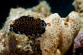 picture of flatworm  - gold - JPG