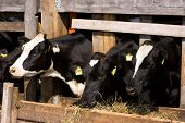Vacas em lugar de alimentação