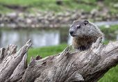 pic of groundhog day  - Close up image of a young woodchuck or groundhog posing on a piece of old timber.  Springtime in Wisconsin
