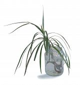 Shoot of dracaena