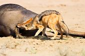 image of jackal  - Jackal eating carcass in desert dead blue wildebeest - JPG
