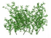 pic of climbing roses  - Green wall bush at the white background - JPG
