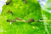 stock photo of cocoon tree  - Mature larva before emerge from slough on green leaf
