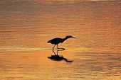Silhouetted Reddish Egret (egretta Rufescens) At Sunrise